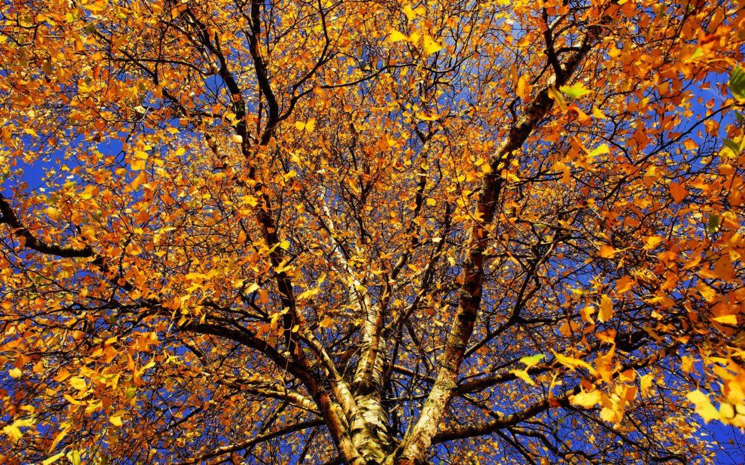 Baum Birke Spätherbst