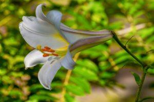 Weiße Lilie der Vergebung