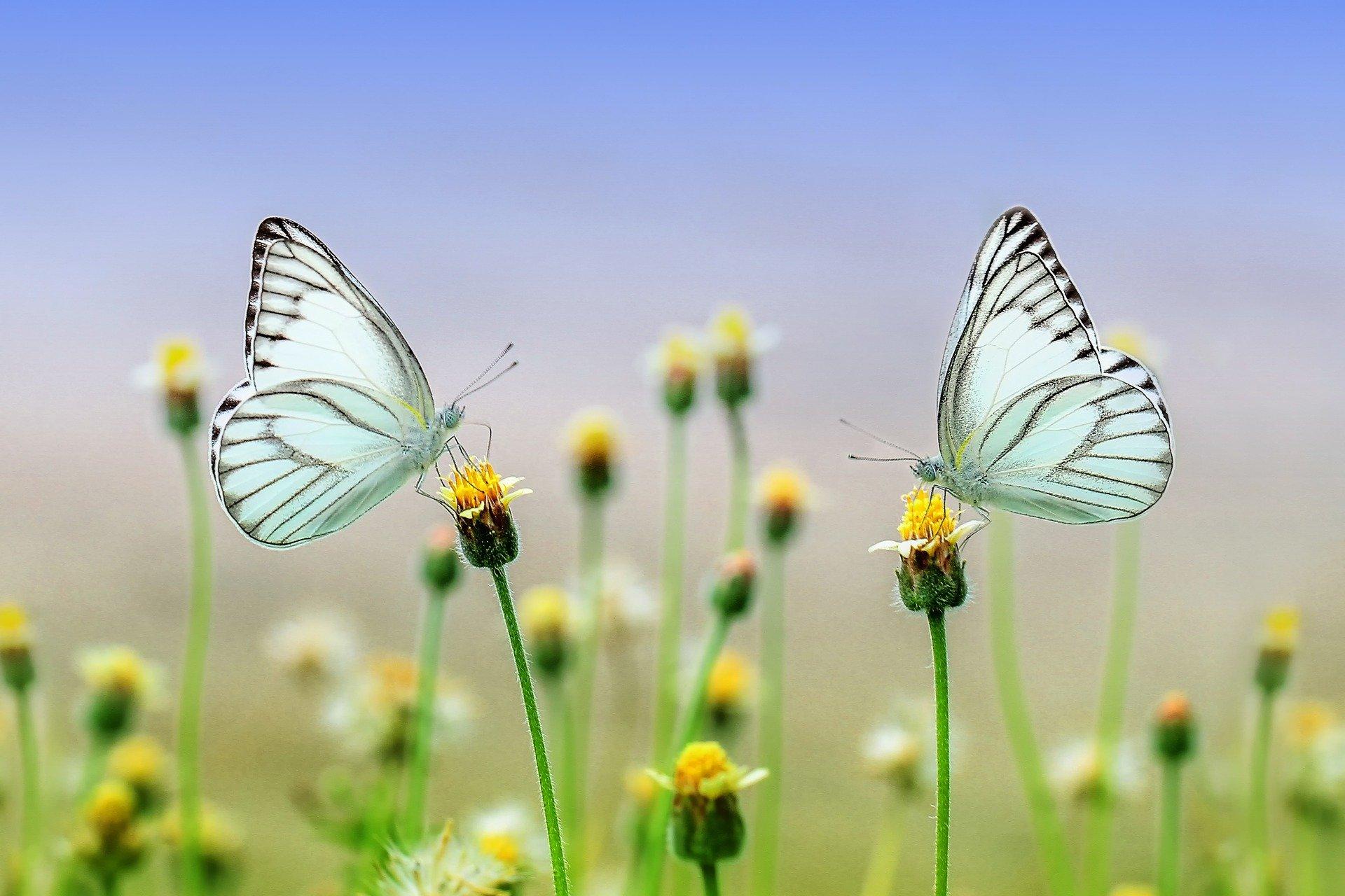 Schmetterlingspaar