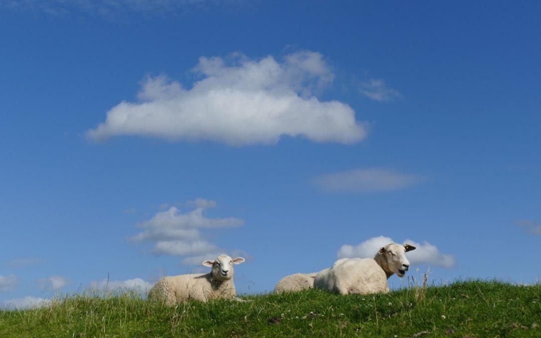 Schafe entspannen auf Sommerwiese